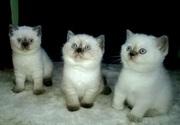 Шикарные британские котята эксклюзивного окраса из питомника с документами