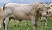 Живой скот,  быки,  коровы,  нетели