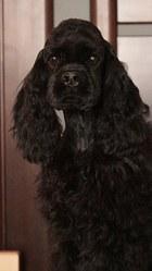 Продажа шикарного щенка американский кокер спаниель